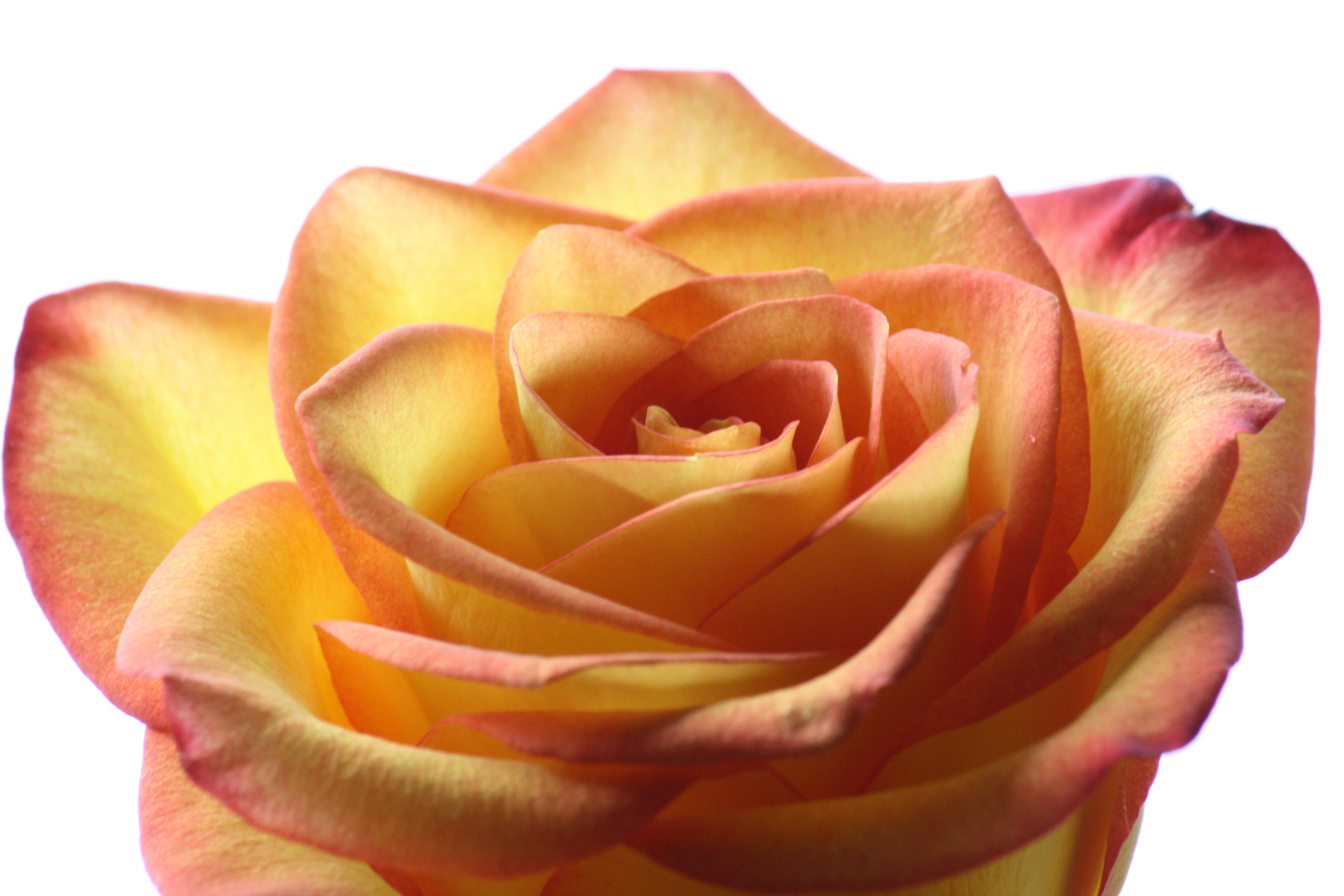 What does the color of roses mean beads of a rose for The meaning of orange roses